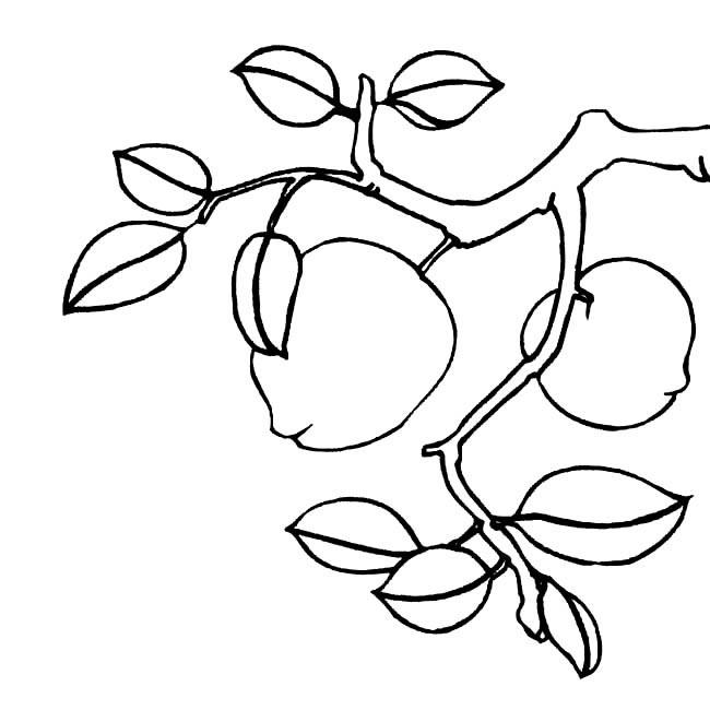 树枝上的桃子简笔画