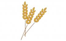 金黄的麦穗简笔画步骤教程